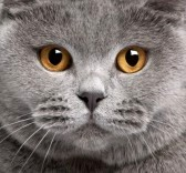 8973170-close-up-del-gatto-british-shorthair-2-anni
