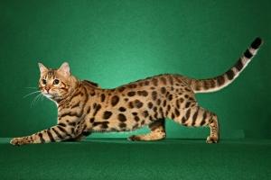bengal-cat3