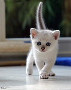 burmilla-kitten