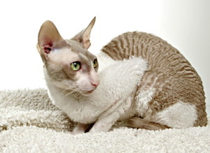 cornish-rex5