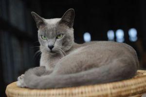 gatto-burmese